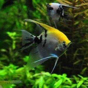 Cara Ternak Ikan Manfish (Angelfish) Di Akuarium